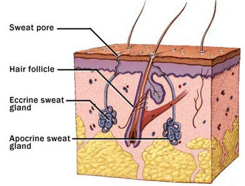 sweat-glands-apocrine-eccrine